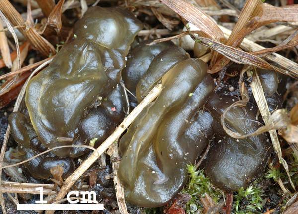 zielony gumoglut