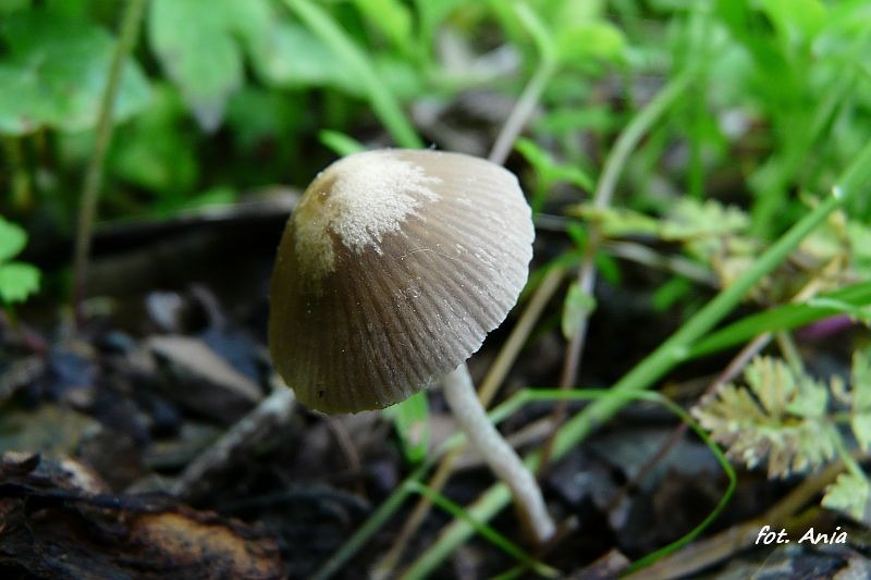 Psathyrella sp.